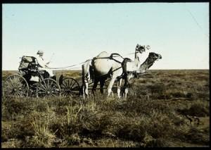 WJ Stevens, camels, 1913.