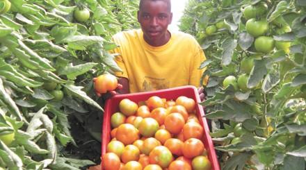 Zimbabwe tomatoes
