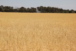 Photo of wheat field - concerns for rural health funding cuts